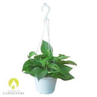 【Gardeners】黃金葛6吋吊盆5入(吊盆/花盆/盆栽)